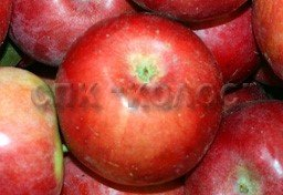 http://kolosnvp.ru/upload/iblock/3d4/garden-apple-03.jpg